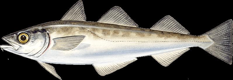 Alaska pollock young s seafood for Alaskan white fish