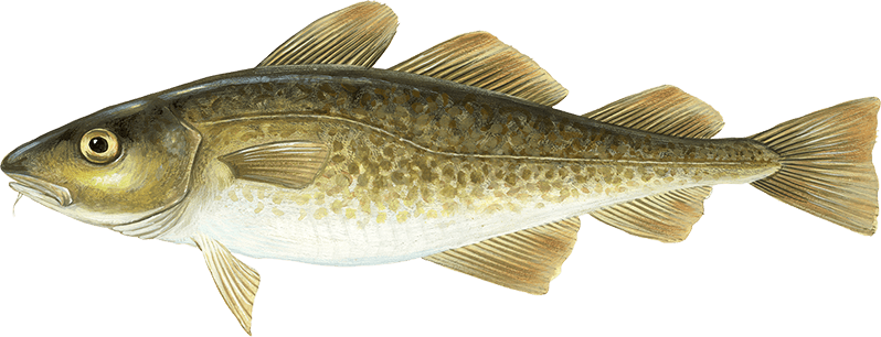Atlantic cod young s seafood for Atlantic cod fish