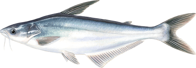 Basa young s seafood for What is pangasius fish