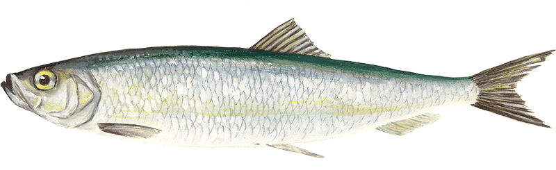 Herring young s seafood for Oily fish representative species